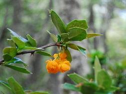 Image of <i>Berberis ilicifolia</i> Forst.