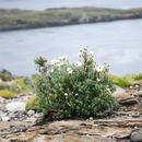 Image of <i>Chiliotrichum diffusum</i> (Forst. fil.) Kuntze