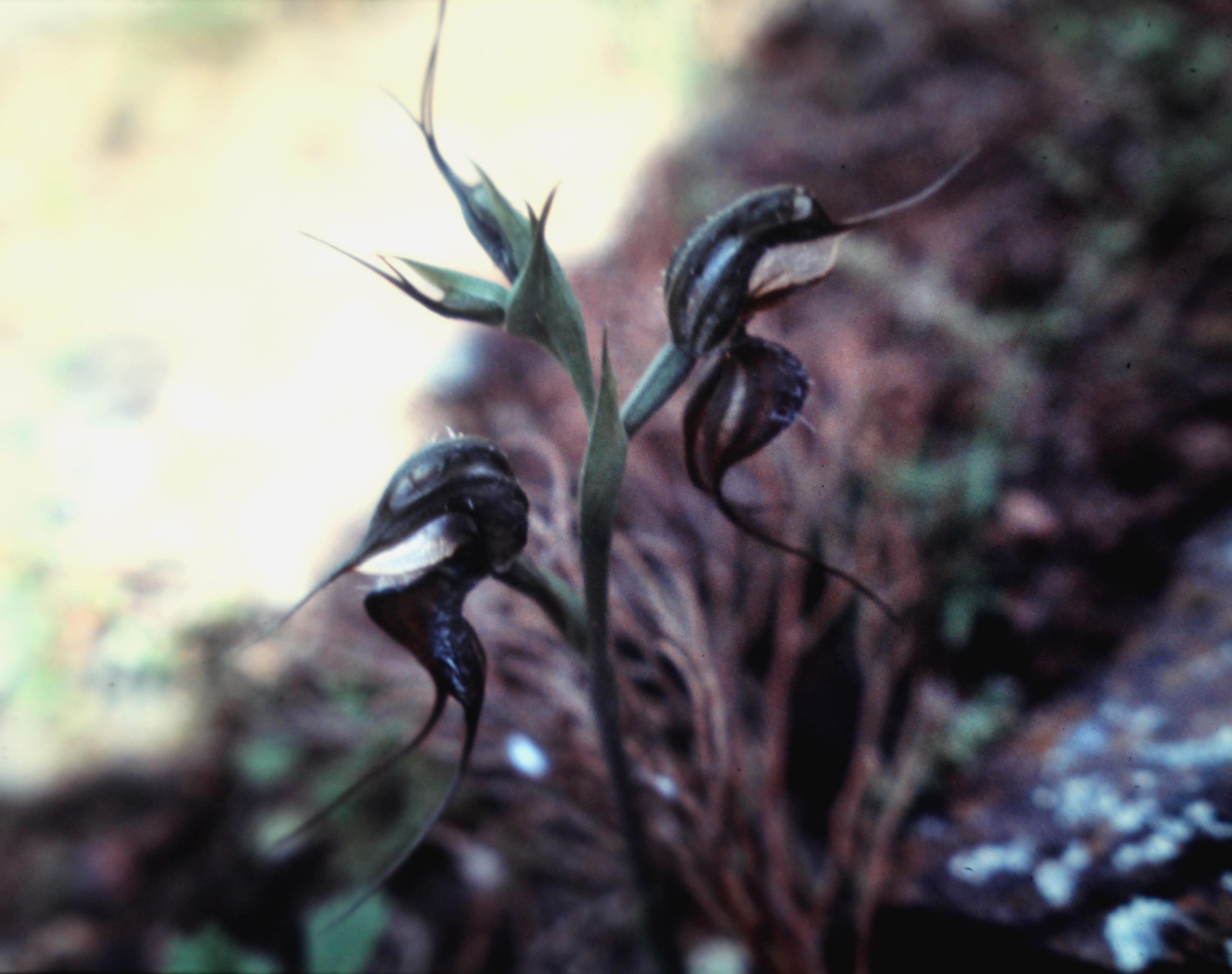 Image of <i>Pterostylis arenicola</i> M. A. Clem. & J. Stewart