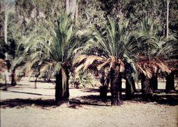 Image of <i>Macrozamia moorei</i> F. Muell.