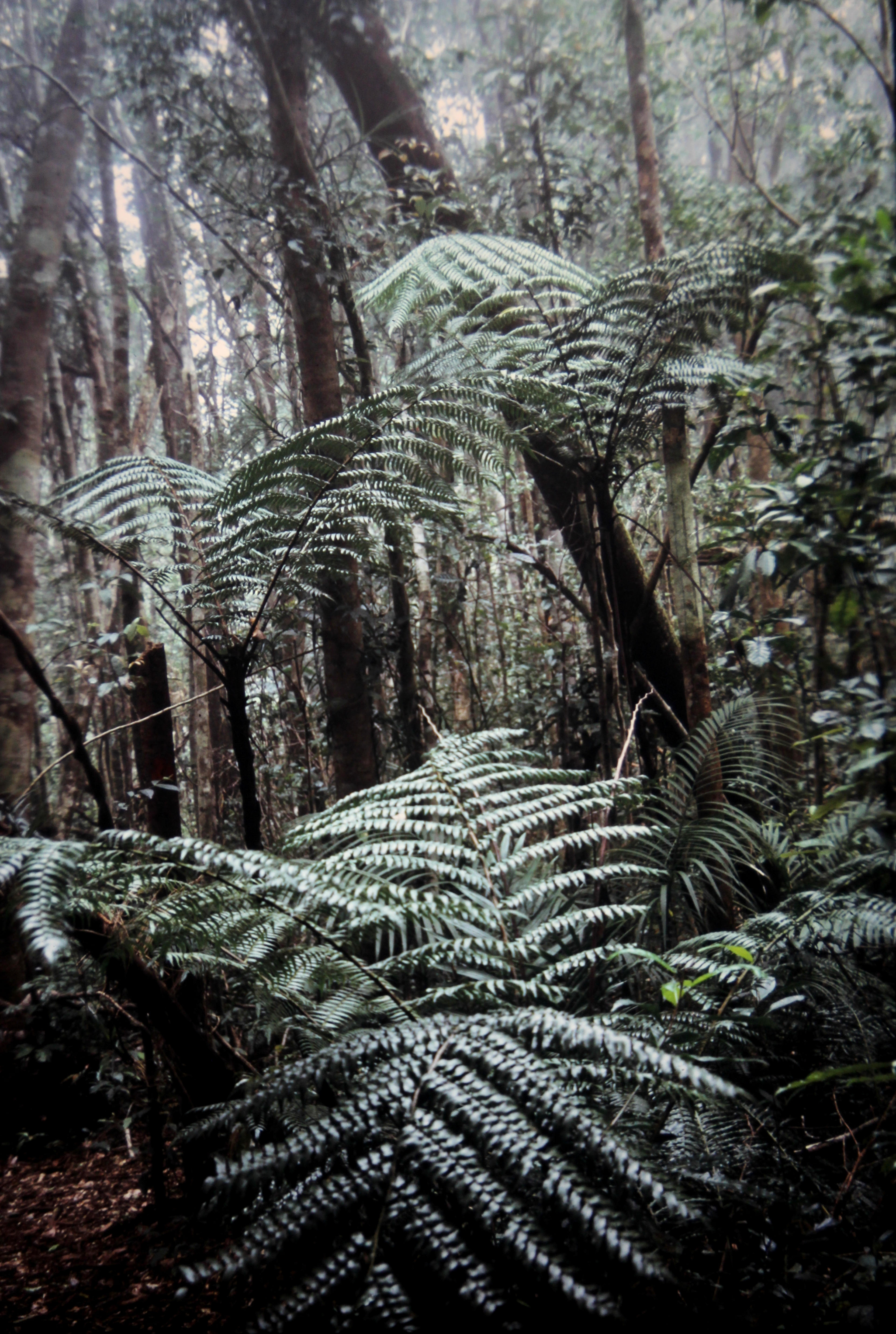 Image of black tree fern