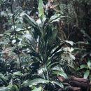 Image of <i>Cordyline cannifolia</i> R. Br.