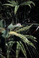 Image of <i>Sticherus tener</i>