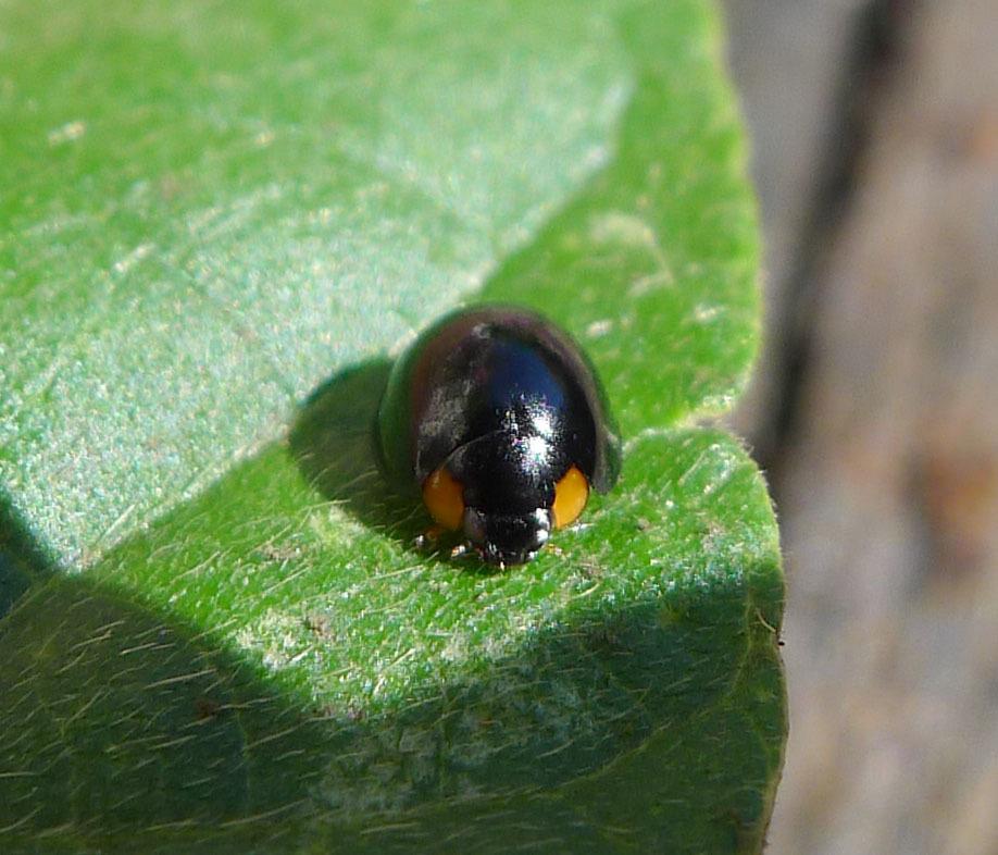 Image of <i>Exochomus pubescens</i> Kuster 1848
