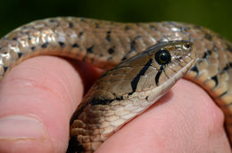 Image of Yellow-spotted Keelback Water Snake