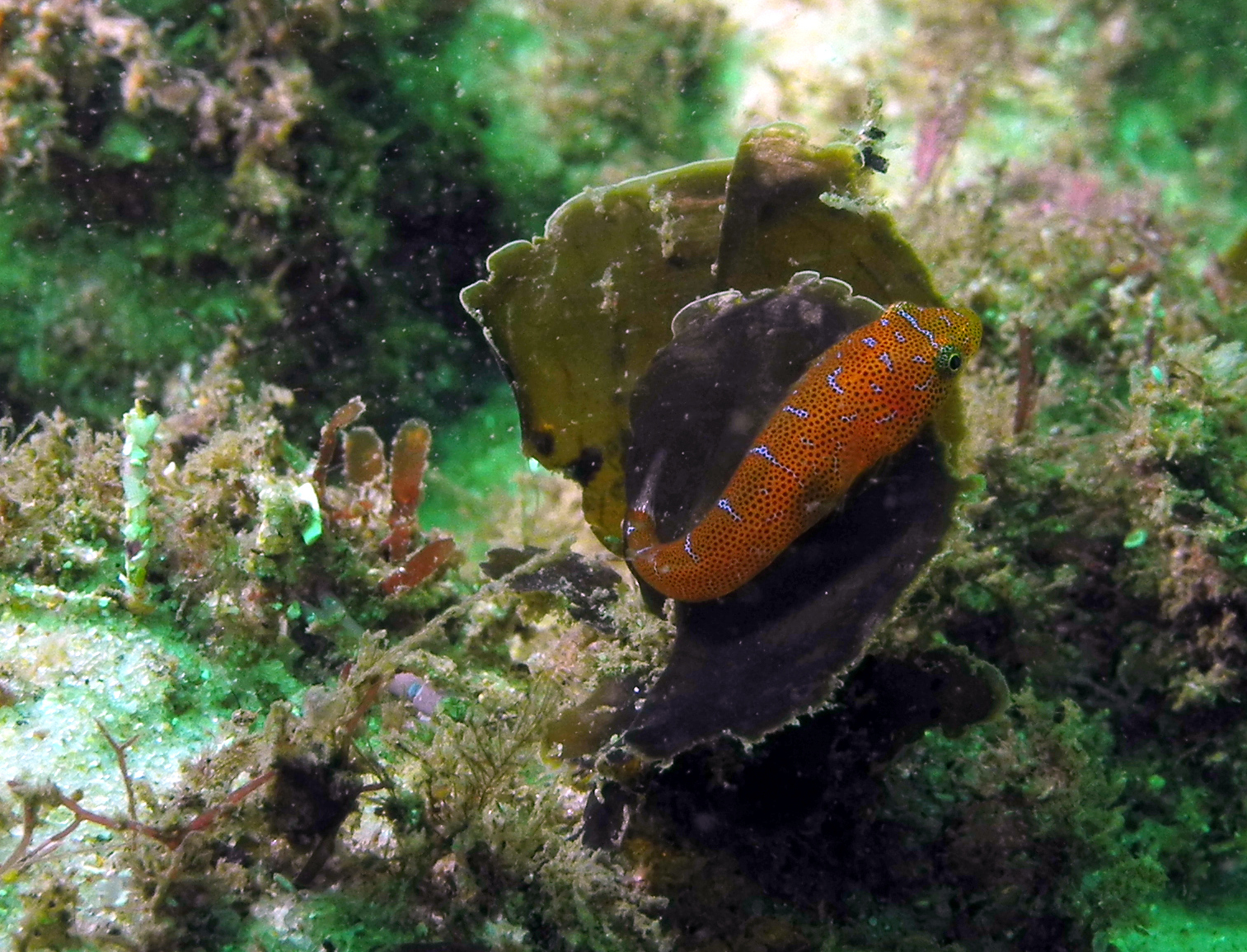 Image of Eastern cleaner-clingfish