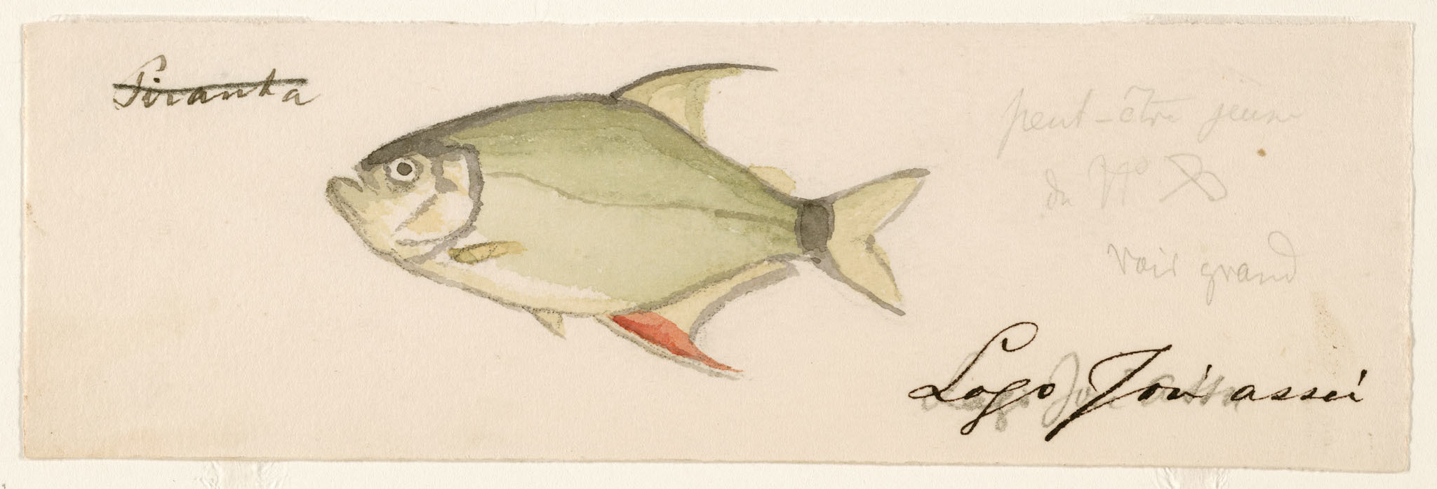 Image of Wimple piranha