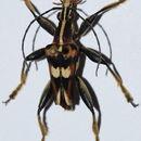 Image of <i>Anthribola decorata</i>
