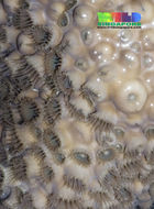 Image of Grey colonial zoanthid