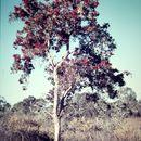 Image of <i>Melaleuca nervosa</i> (Lindley) Cheel