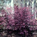 Image of showy boronia