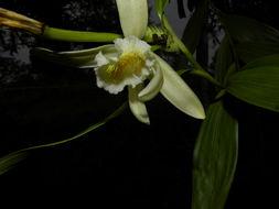 Image of <i>Sobralia luteola</i> Rolfe