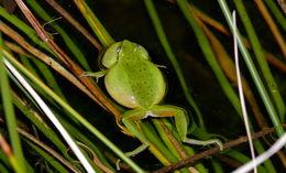 Image of Mediterranean Tree Frog