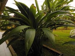 Image of Palm-Grass