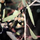Image of <i>Eucalyptus angulosa</i> Schauer