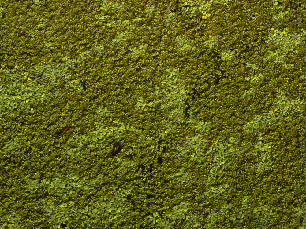 Image of eared watermoss