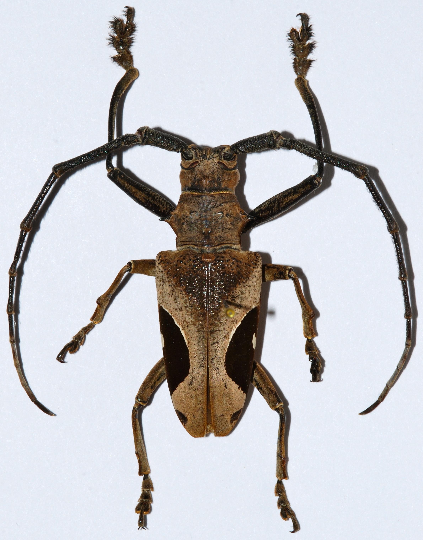 Image of <i>Paraleprodera lecta</i>