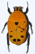 Image of <i>Euchroea auripigmenta</i> (Gory & Percheron 1835)