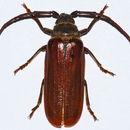 Image of <i>Closterus oculatus</i> Gahan 1890