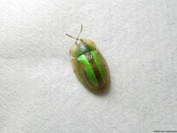 Image of Beet Beetle