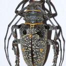 Image of <i>Megalofrea bioculata</i> (Fairmaire 1889)