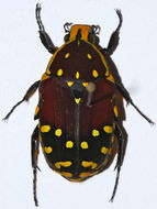 Image of <i>Euchroea histrionica</i> Burmeister 1842