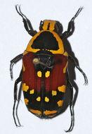 Image of <i>Euchroea aurostellata</i> Fairmaire 1898