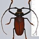 Image of <i>Hoplideres aquilus</i> Coquerel 1859
