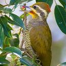 Image of Yellow-browed Woodpecker