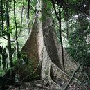 Image of Ofram Tree