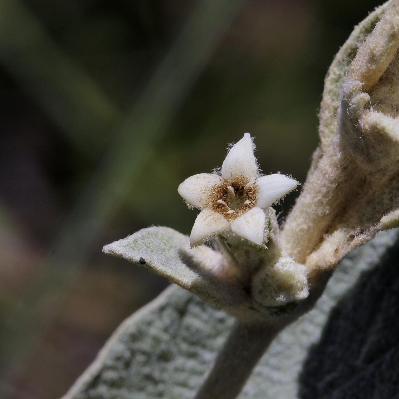 Image of <i>Sabicea brasiliensis</i> Wernham