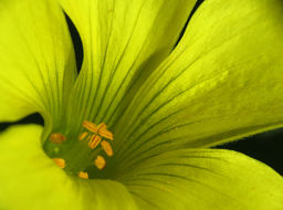 Image of Bermuda buttercup
