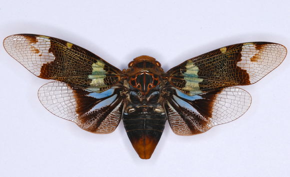 Image of <i>Scaralis versicolor</i> Distant 1906