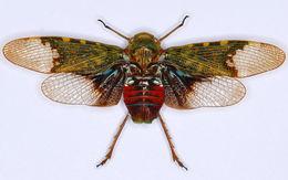 Image of <i>Scaralis nigronotata</i> Stal 1863