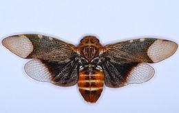 Image of <i>Scaralis neotropicalis</i> (Distant 1887)