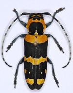 Image of <i>Tragocephala jucunda</i> (Gory 1835)