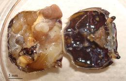 Image of <i>Portunion conformis</i> Muscatine 1956