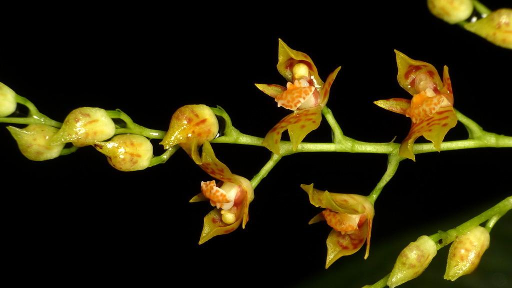 Image of <i>Brassia incantans</i> (Rchb. fil.) M. W. Chase