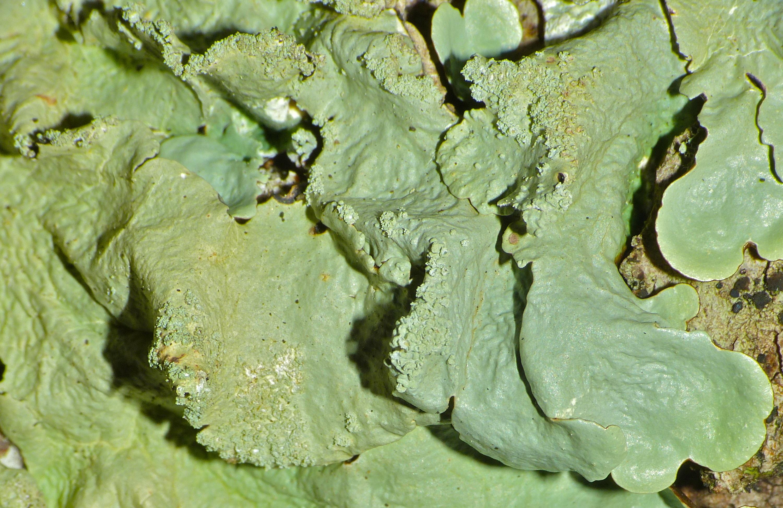 Image of <i>Xanthoparmelia caperata</i>