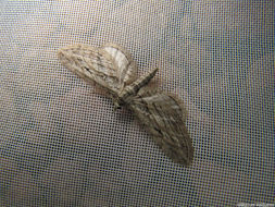 Image of <i>Eupithecia rosmarinata</i> Millière 1865