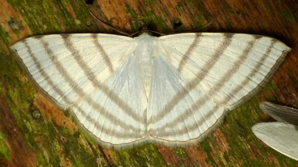 Image of <i>Racasta spatiaria</i> Guenée 1858