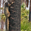 Image of Sherman's fox squirrel