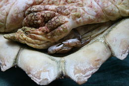 Image of Columbus crab