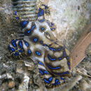 Image of Southern blue-ringed octopus