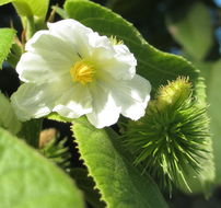 Image of <i>Buchnerodendron lasiocalyx</i> (Oliv.) Gilg