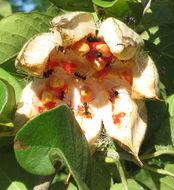 Image of <i>Xylotheca tettensis</i> (Klotzsch) Gilg