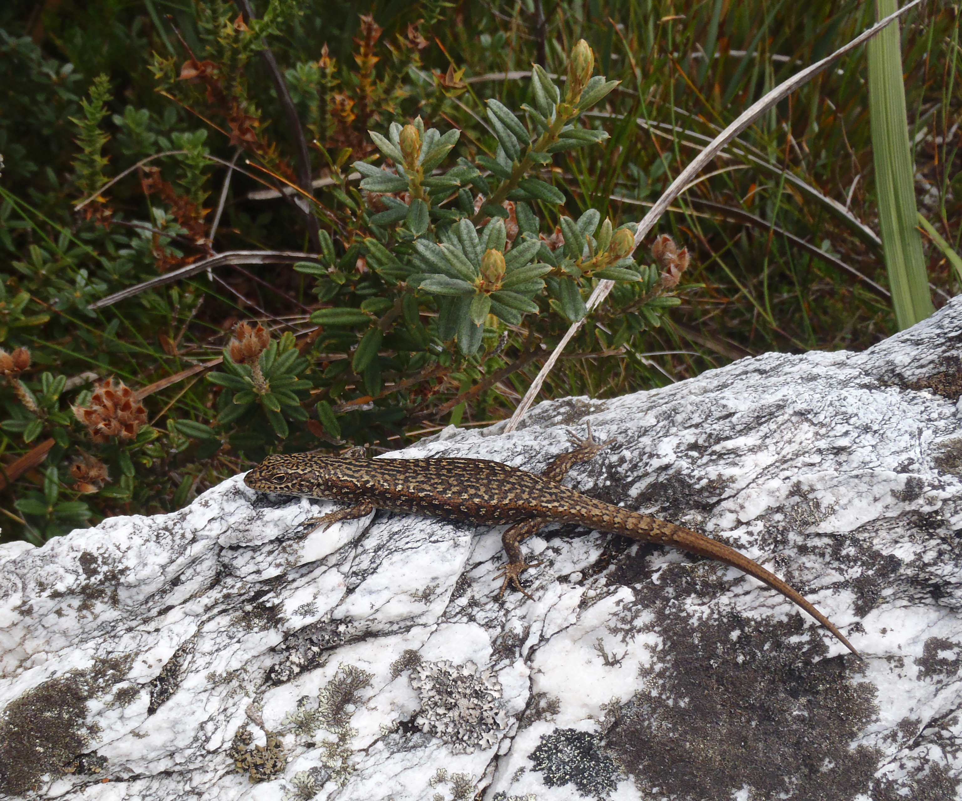 Image of Spotted Skink