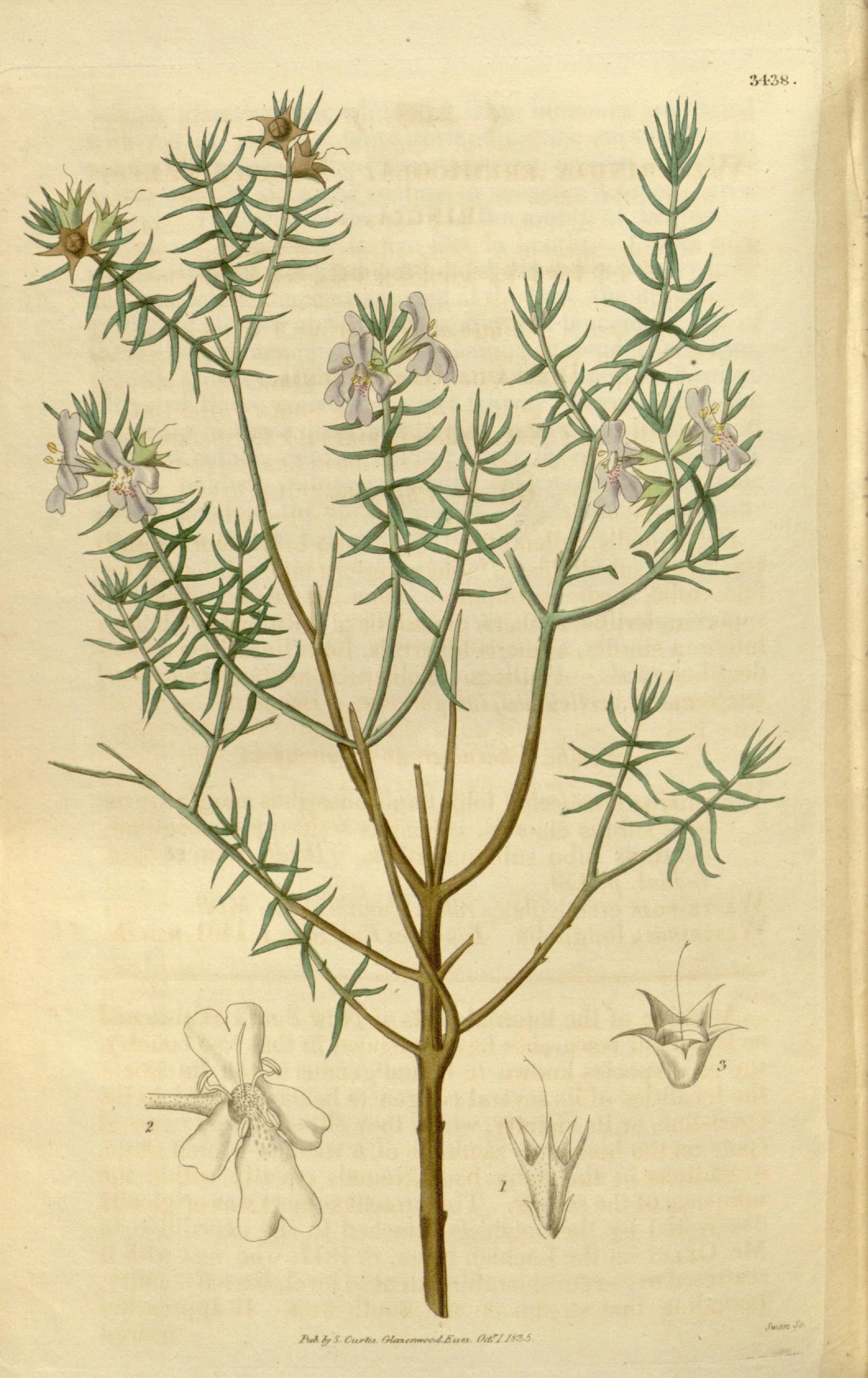 Image of <i>Westringia eremicola</i> A. Cunn. ex Benth.