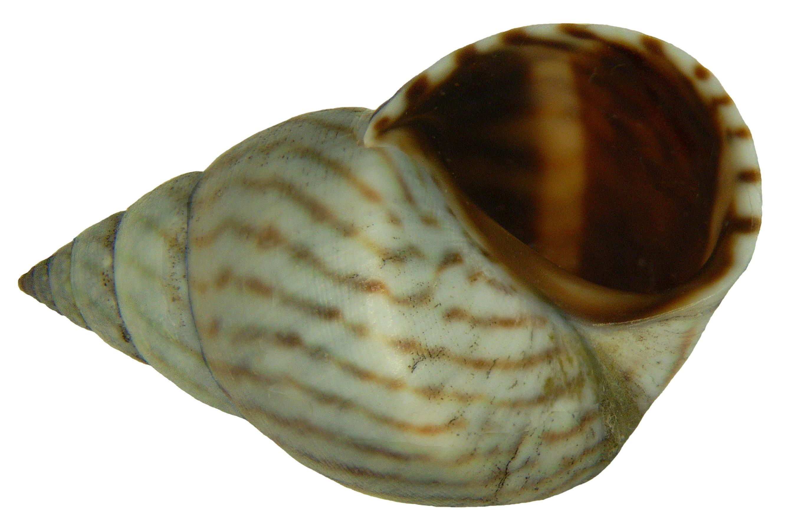Image of <i>Littorina ziczac</i>