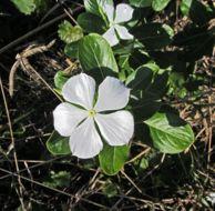 Image of Madagascar periwinkle
